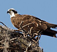 Osprey In the Nest - Vesta by Memaa