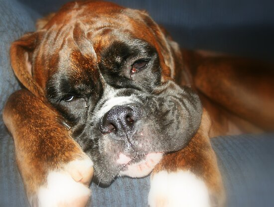 Nap-time -Boxer Dogs Series- by Evita