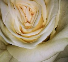 Macro of white rose 6 by AnnArtshock