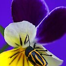 Pansy Playtime by Debbie Steer