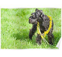 Decorated Black Miniature Schnauzer Dog Poster