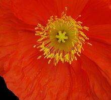 Hello Poppy  by Michelle BarlondSmith