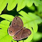 Little Wood Satyr Butterfly by Christina Rollo