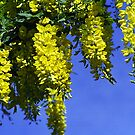 Golden Chain Tree (Laburnum Vossii) by Bev Pascoe