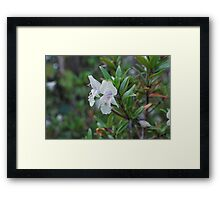 Buffalo Mint Bush.  Mt Buffalo  Framed Print