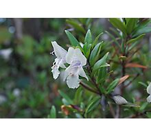 Buffalo Mint Bush.  Mt Buffalo  Photographic Print