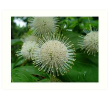 Buttonbush Art Print
