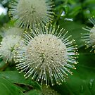 Buttonbush by May Lattanzio