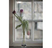 Droopy Tulip  Photographic Print