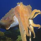 Giant Australian Cuttlefish by Erik Schlogl