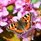 """ Small Tortoiseshell In Spring "" by Richard Couchman"