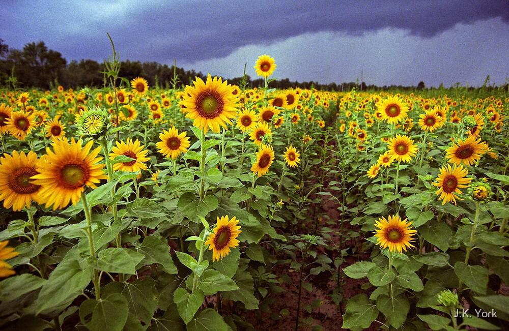 sunflowers by J.K. York