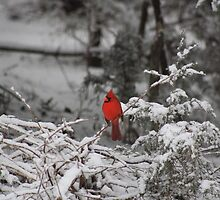Cardinal In The Snow by valleygirl