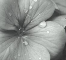 Raindrops on Flowers 2! by Carmen Taylor