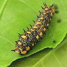 Dainty Swallowtail - Caterpillar by DPalmer