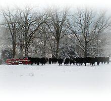 Cows in Winter Field by PhotogbyDana