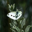 White Moth by DPalmer