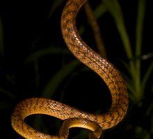 Brown tree snake Boiga irregularis by Henry  Cook