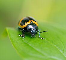Swamp Milkweed Beetle by Stephen Beattie