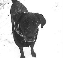 black labrador by labsrule72