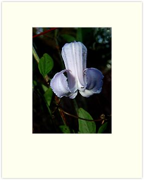 Pine Hyacinth  (Clematis baldwinii ) by May Lattanzio