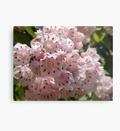 Mountain Laurel  (Kalmia latifolia) Metal Print