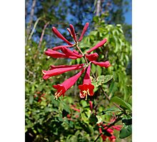 Trumpet Honeysuckle (Lonicera sempervirens) Photographic Print