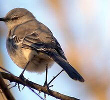 American Nightingale by vickisnow