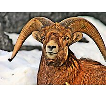 BigHorn smile Photographic Print