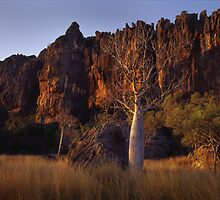Winjana_ Boab Tree by Albert Sulzer