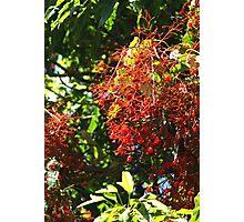 Illawarra Flame Tree in Drouin Gippsland Victoria Photographic Print