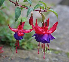 dew on fusia by Steve Neeves