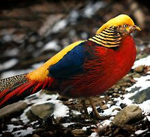 Golden Pheasant by Bobby McLeod