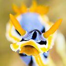 Chromodoris Annae by James Deverich