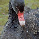 Abraham - A Black Swan Cygnet by AARDVARK