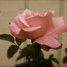 Pink Rose by Fern Design