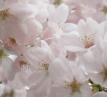 Blooming Cherry Tree by Lena127
