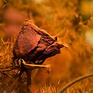 Withered rose by Antanas