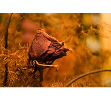 Withered rose Photographic Print