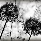 Allium by rosedew
