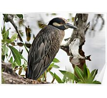 Night-Heron ( Yellow-crowned ) Poster