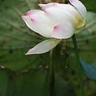 Pink-tipped white lotus on a pond by gustinegirl