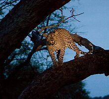 Leopard in a Tree - Blue by Tobin Rogers
