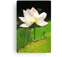 White Lotus in a Pond Canvas Print