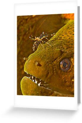 Cleaner Shrimp on Moray by Dan Sweeney