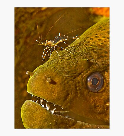 Cleaner Shrimp on Moray Photographic Print