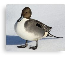 Northern Pintail Canvas Print