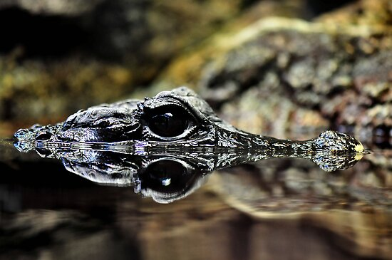 Dwarf Crocodile by Dennis Stewart