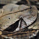 West African Gaboon Viper by Dennis Stewart