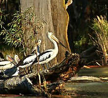 Murray River Pelicans by diddle